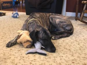 Great Dane with stuffed toys