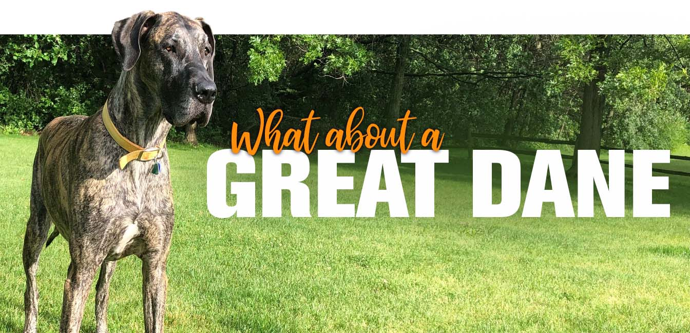 What about a Great Dane